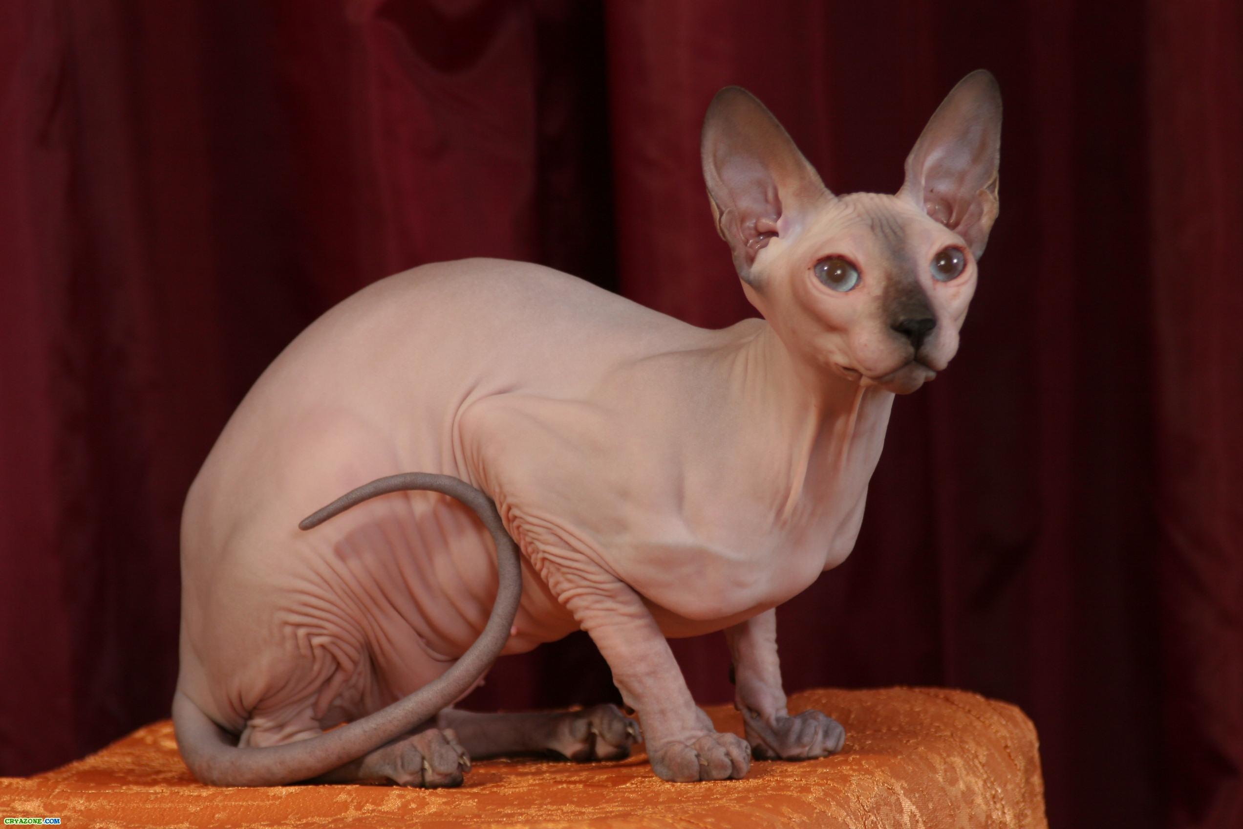 Чему научить кота сфинкса